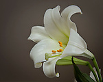 white Easter lily