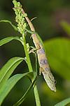 Nose-horned Chameleon (Calumma nasutum). Ranomafana National Park, Madagascar.