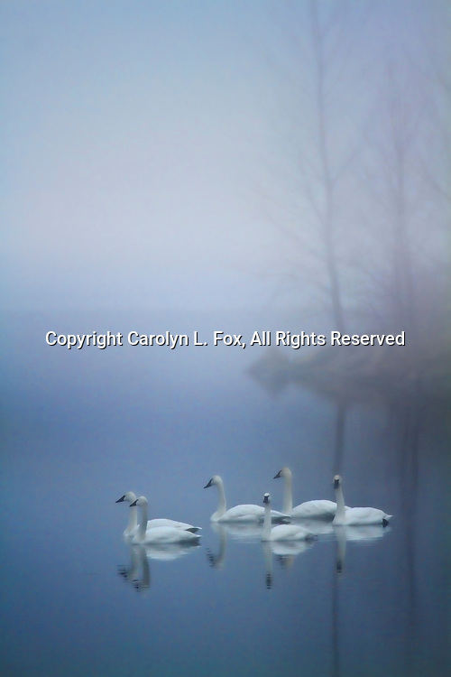 Trumpeter swans swim in the fog at Lake Remembrance in Blue Springs, Missouri.