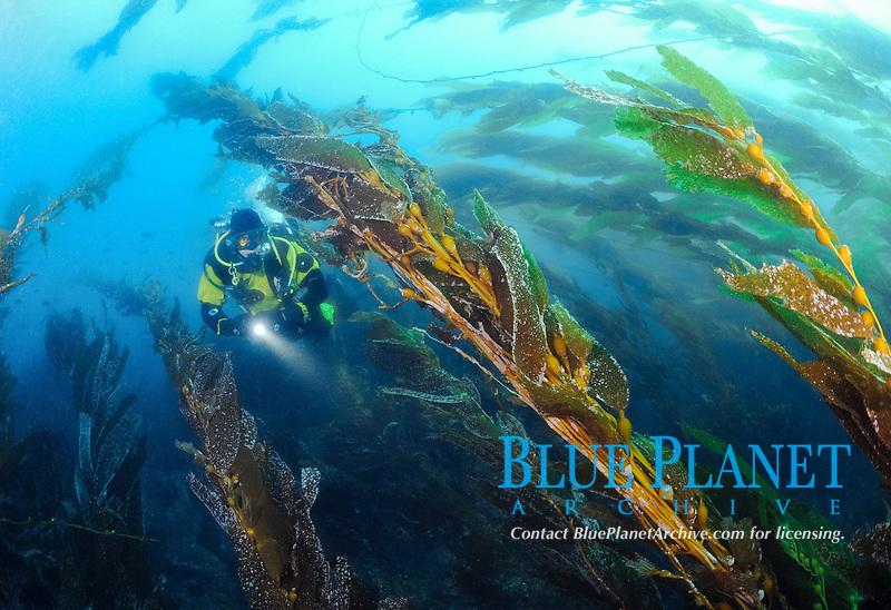 Scuba diver swimming in kelp. Macrocystis pyrifera, Anacapa Island, CA, Pacific Ocean