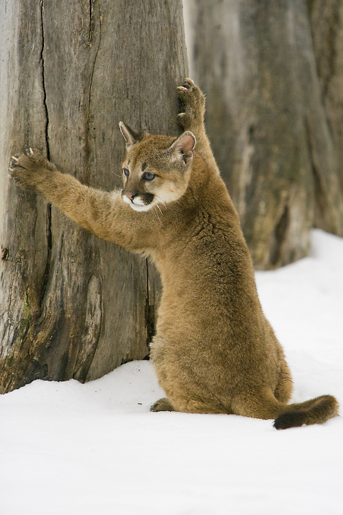 Puma kitten standing on its hind legs against an old tree - CA