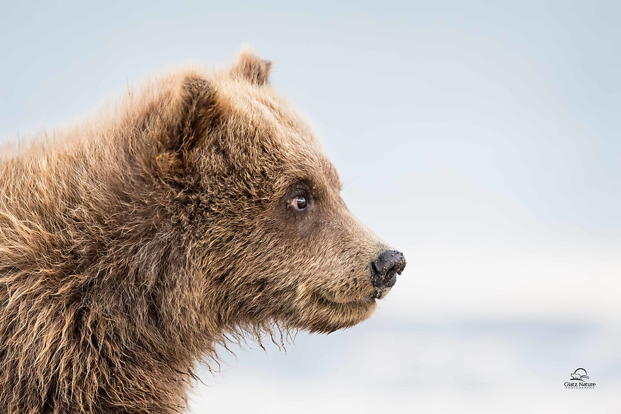 """Gotta love Coastal Alaska.  There are not many places on the planet where you can watch a large female Brown Bear (Ursus arctos) fish for salmon while her spring cubs hang out watching, learning and waiting for a bite of mom's catch.  It really hit home when one of the tiny cubs decided to """"help"""" mom fish, and walked right in front of us - completely oblivious to our presence. Un-cropped image.  Lake Clark National Park, Alaska."""