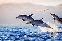 Spotted Dolphin, Stenella frontalis, Group of Leaping juvenilles, Pico-Azores-Portugal, Atlantic Ocean