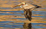 Brown Pelican flying low over the water, in the early morning sun
