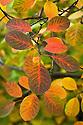 Autumn foliage of Smoke bush (Cotinus coggygria), early November.
