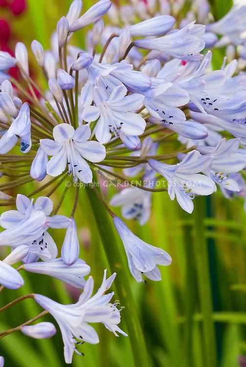 Agapanthus 'Summer Skies' aka Summer Sky, blue striped rays summer flowering bulb