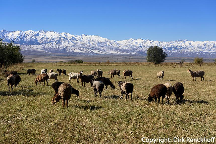 Schafherde im Shu-Tal vor Tianshan-Bergen, Kirgistan, Asien<br /> flock of sheep in the Shu Valley in front of Tianshan mountains, Kirgistan, Asia