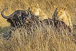 Lions taking down buffalo, Okavango, Botswana
