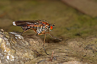 Grüne Langbeinfliege, Poecilobothrus nobilitatus, Glittering green fly, Semaphore Fly, Langbeinfliegen, Dolichopodidae