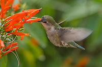 Female Anna's Hummingbird (Calypte anna) feeding on mexican firecracker flowers.  Arizona.  Feb-March.