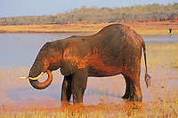 African elephant (Loxodonta africana) taking mud bath in Lake Kariba, Zimbabwe.