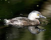 Least grebe adult non-breeding