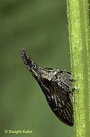 1T01-006z  Treehopper mimics a thorn - Campylenchia