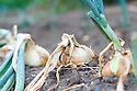 Onions ready for harvesting, early August.