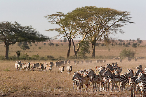 Plains zebras migrating in a long line across grasslands and scattered acacia trees in Serengeti National Park, Tanzania.