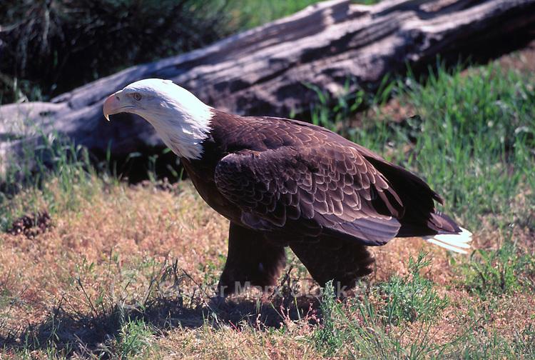 Mature Adult Bald Eagle (Haliaeetus leucocephalus) perched on Ground