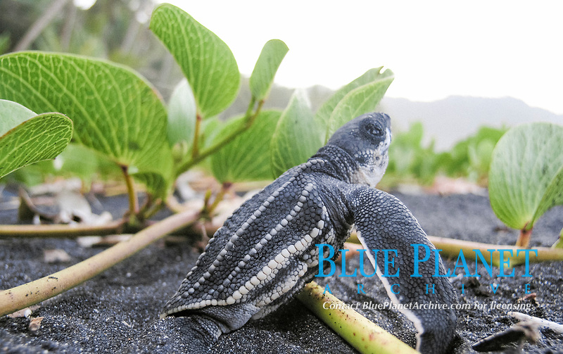 leatherback sea turtle hatchling, Dermochelys coriacea, trys to run to sea but path is obstructed by sea grape, Dominica, West Indies, Caribbean, Atlantic