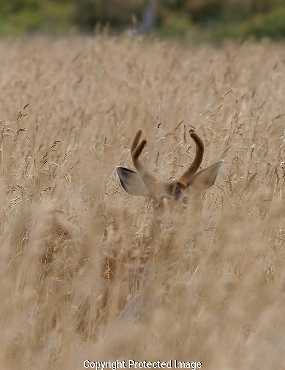 Mule deer stag peers out of the tall brush on Protection Island.