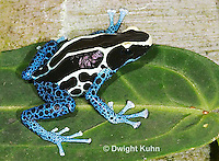 FR24-535z   Dyeing Poison Dart Frog, Dendrobates tinctorius, 'Powder Blue morph'