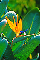 Flowering blossom of the Bird of Paradise.