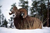 One Rocky Mountain Bighorn Sheep Ram (Ovis canadensis), Jasper National Park, Canadian Rockies, AB, Alberta, Canada, Winter