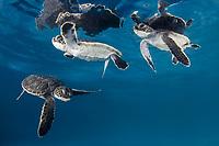 green sea turtle hatchling, Chelonia mydas, Endangered Species, Yucatan, Mexico, Caribbean Sea, Atlantic Ocean (c)