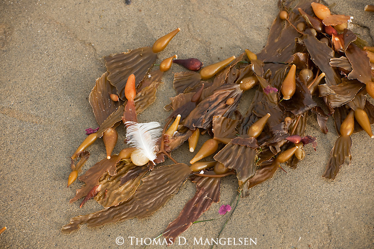A feather and kelp lie on the beach in La Jolla, California.