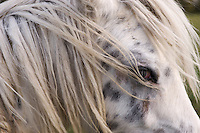 Detail of the face and mane of a British spotted pony on Wolvercote Common, Oxford.