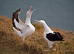 Royal Albatross at Taiaroa Head on the Otago Peninsula. The Otago Region of New Zealand.