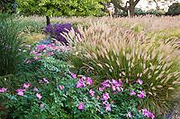 Grass garden with roses, Rosa 'Nearly Wild' and Fountain Grass Pennisetum alopecuroides; Meadow garden Chicago