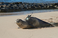 Hawaiian monk seal, Neomonachus schauinslandi, heads toward the ocean after attachment of a Crittercam and tracking instrumentation package by NOAA researchers as part of Ho Ike a Maka Project; west end of Molokai, Hawaii, photo taken under NOAA permit 10137-6