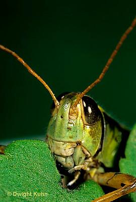 """OR03-046c  Grasshopper - eating leaf, short horned or """"true"""" grasshopper, two-striped grasshopper - Melanoplus bioittatus"""