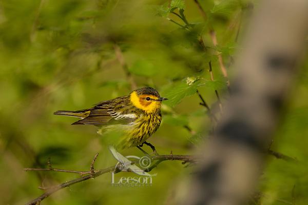 Male Cape May Warbler (Setophaga tigrina).  Great Lakes Region.  May.