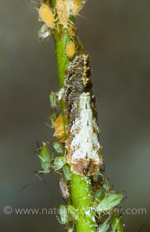 Hain-Schwebfliege, Larve frisst Blattlaus, Blattläuse, Gemeine Winterschwebfliege, Winter-Schwebfliege, Hainschwebfliege, Wanderschwebfliege, Wander-Schwebfliege, Schwebfliege, Parkschwebfliege, Episyrphus balteatus, Episyrphus balteata, Syrphus balteatus, marmalade hoverfly, pupa, pupae, Le Syrphe ceinturé, Syrphe à ceinture, Syrphe à ceintures