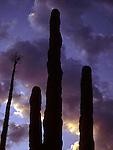 Cardone Cactus at Sunset, Mexico