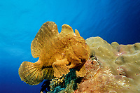 Giant frogfish, Antennarius commersonii, Philippines, Bohol Sea, Pacific Ocean, Panglao Island, Bohol