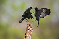 Red-winged Blackbird (Agelaius phoeniceus), males fighting, Sinton, Corpus Christi, Coastal Bend, Texas, USA