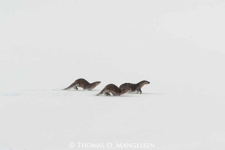 A romp of River Otters run and slide along the ice in Grand Teton National Park, Wyoming