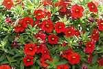 CALIBRACHOA 'ALOHA RED', MILLION BELLS