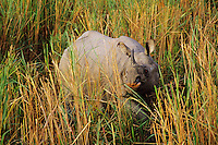 Indian or Asian one-horned Rhinoceros (Rhinoceros Unicornis) NE India.
