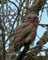 Great Horned Owl Juvenile perched in a tree looking at viewer in Ridgefield National Wildlife Refuge