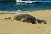 An endangered Hawaiian Monk Seal rests on   Sandy Beach along Oahu's east coast. Scientific name (Monachus schauinslandi)