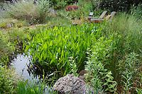 Backyard garden pond water feature with Broadleaf Arrowhead (Sagittaria latifolia) in natural habitat California native plant garden, Schino