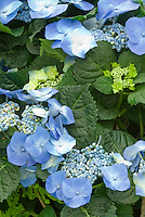 Hydrangea macrophylla 'Mariesii Perfecta'  aka 'Blue Wave' (Lacecap) AGM