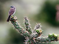 Adult black-throated sparrow on cactus