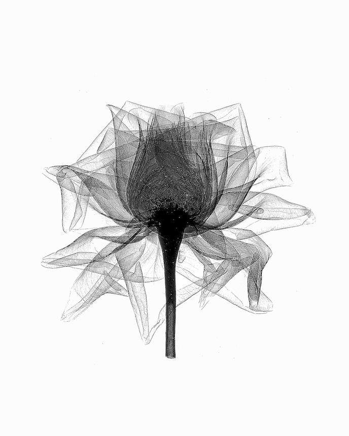 Xray open Rose blossom
