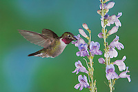 Broad-tailed Hummingbird, Selasphorus platycercus,male in flight feeding on Rocky Mountain Penstemon (Penstemon strictus),Rocky Mountain National Park, Colorado, USA, June 2007