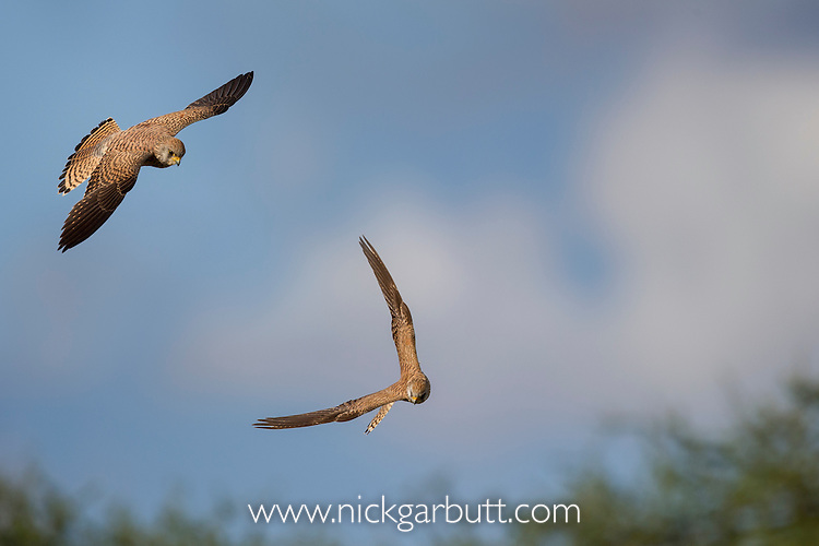 Lesser Ketrels (Falco naumanni) in flight. Ndutu area, Ngorongoro Conservation Area NCA / Serengeti National Park.