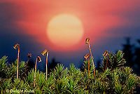 MY01-004C  Moss - reproductive structures, sporophyte, setting sun