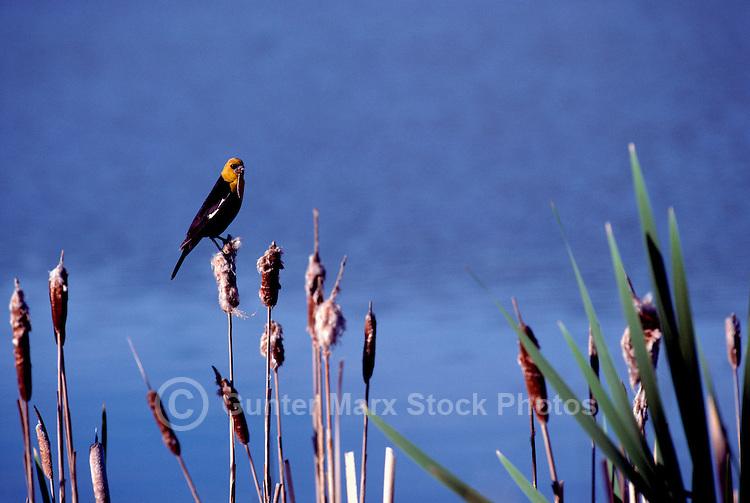 A Male Yellow Headed Blackbird sitting on a Bullrush Plant